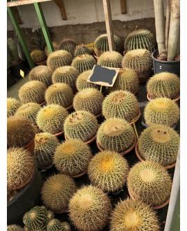 cactus grusonii