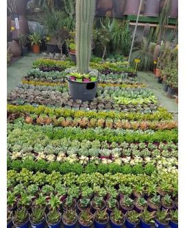 plantas suculentas o crasas